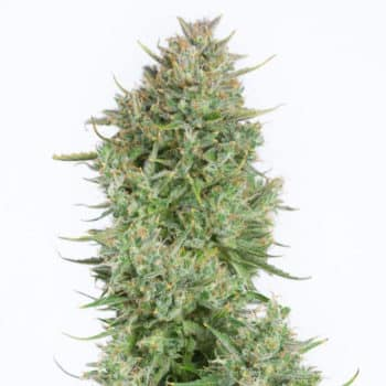 lemon-kush-feminized